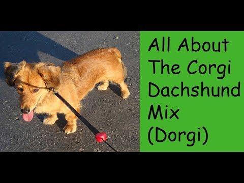 All About The Corgi Dachshund Mix (Dorgi)