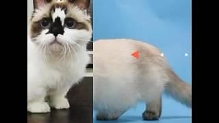Кошки породы Манчкин!! :-) О уходе ,характере вы можете узнать в описании