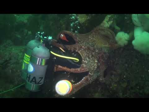 Diver Gets Totally Engulfed By Giant Pacific Octopus