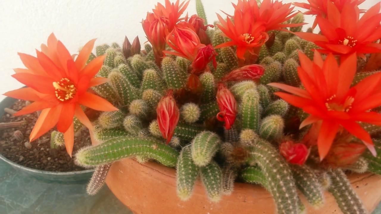 Cactus chamaecereus silvestrii nombre com n cactus for Nombres de cactus