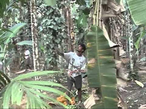 Advanced Arecanut Plantation Advise by G M Hegde Gadikai