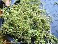 How to re start a String Of Pearls Plant - Senecio rowleyanus