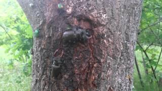 насекомые жук-олень