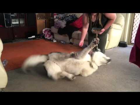 Mavyas malamute tricks!
