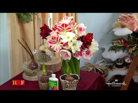 Amaryllis: How To Select, Plant, And Cut Flowers