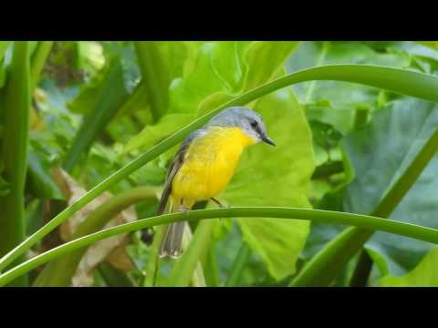 Eastern Yellow Robin & Rufous Fantail