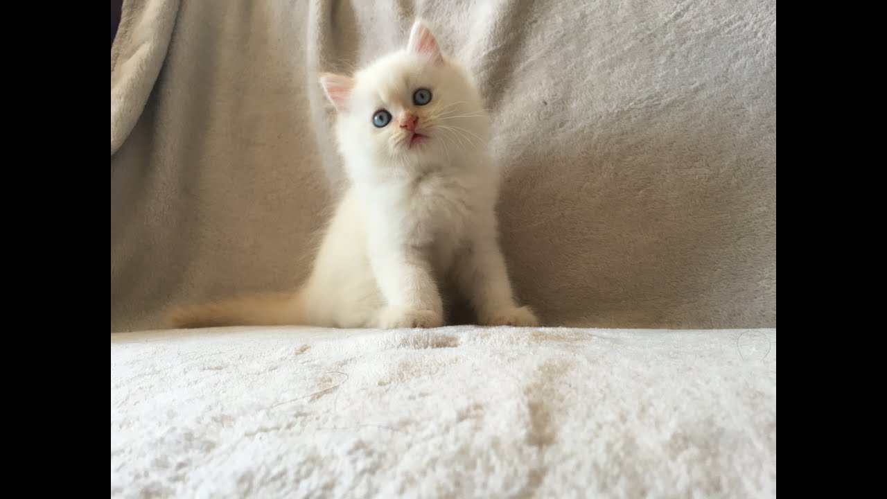 Flame Point Himalayan Doll Face Persian Kitten