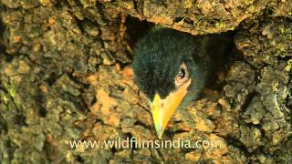 Himalayan Barbet Chick Checks Out Whats Outside The Nest Hole!