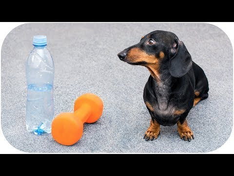 Always in fit shape! Funny dachshsund dog video!