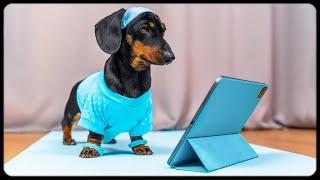 Always in fit shape! Funny dachshsund dog video!