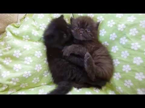 4 Week Old Persian Kittens Playing Together In Their Bed