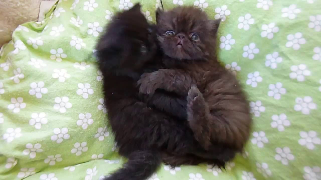 4 week old persian kittens playing together in their bed youtube nvjuhfo Choice Image