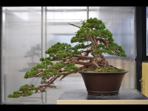 Semi Cascade Bonsai Style Han Kengai Youtube