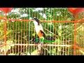 Persen Ampuh Masteran Burung Cendet Gacor Terbaru  Mp3 - Mp4 Download