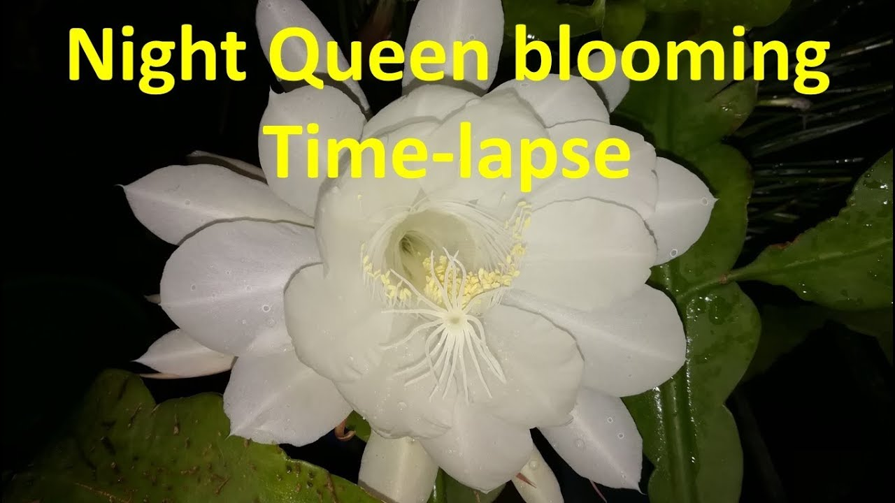 Night Queen Flower Blooming Amazing And Rare Time Lapse Video