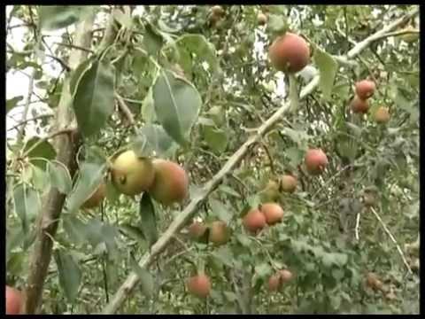 Сорта груш