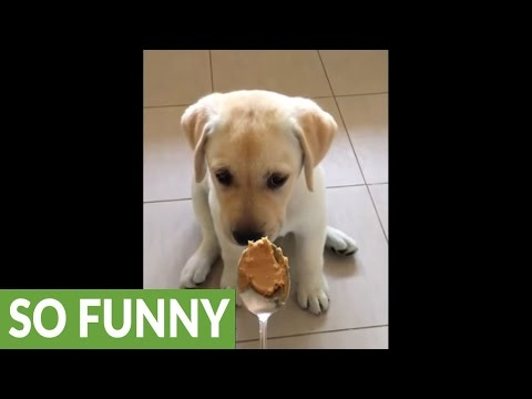 Puppy adorably hesitates to try peanut butter