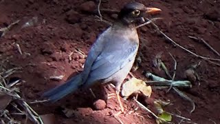 Indian Blackbird - 1