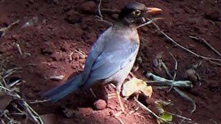 Indian Blackbird - 1
