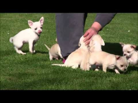 Chihuahua Puppies 5th April 2017
