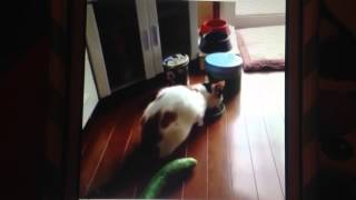 Cat Jumps Away From Cucumber- FUNNY
