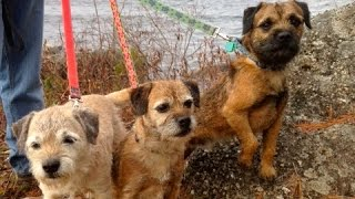 Border Terriers: A Walk Around Town