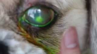 A Shih Tzu Has A Painful Eye Ulcer - Descemetocoele