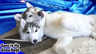 Husky Reacts to Husky Purse |  Cuddle Clones