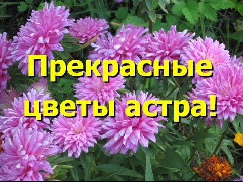 Астра Виды и сорта садовой астры Садовые цветы и