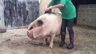 Pig Spa Day