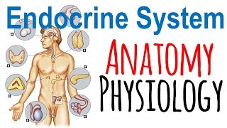 Endocrine system anatomy and physiology | Endocrine system lecture 1