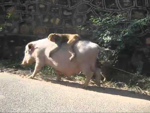 Baby monkey riding backwards on a pig - grown up version