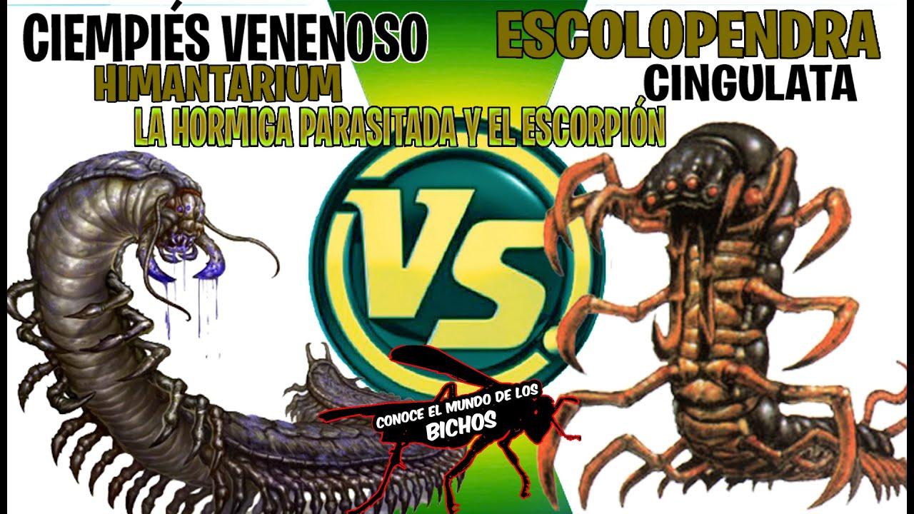 CIEMPIÉS VENENOSO VS ESCOLOPENDRA - LA HORMIGA CON PARÁSITOS Y EL ESCORPIÓN