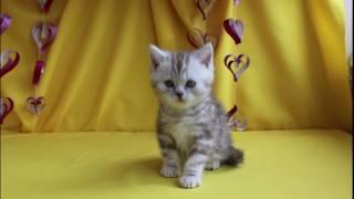 Питомник британских кошек Мириан  ДЖЕКСОН (Jackson Mirian)    окрас: bs 22