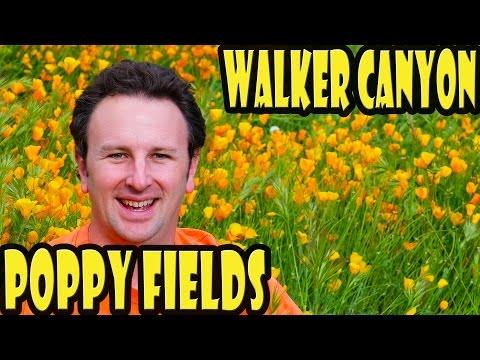 Walker Canyon Poppy Fields in Lake Elsinore - California Wildflowers