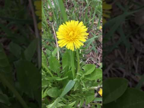 Taraxacum officinale (Dandelion)