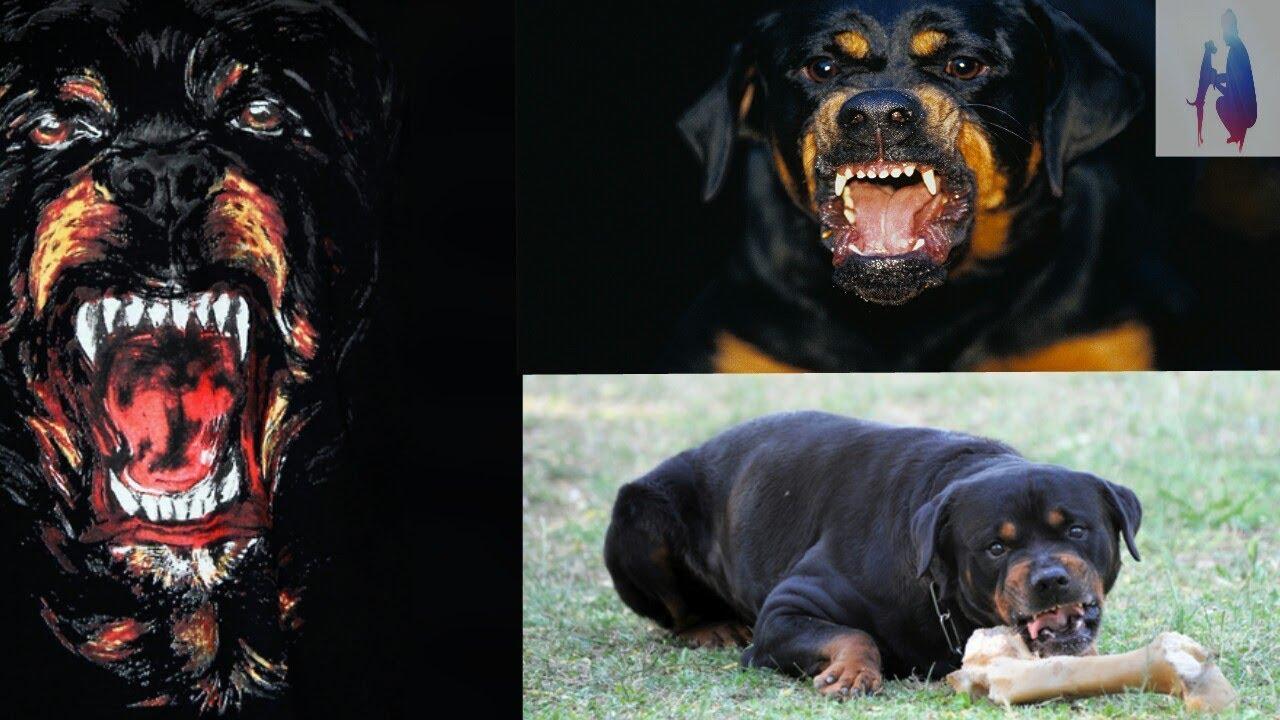 всего фото собак ротвейлеров в бою полотно отличается мягким