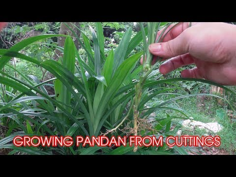 How to Grow Pandan Plant from Cutting at Home