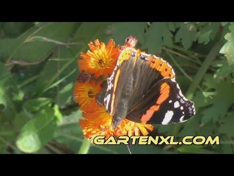 Admiral anlocken: So kommt der Schmetterling in den Garten   Forbex