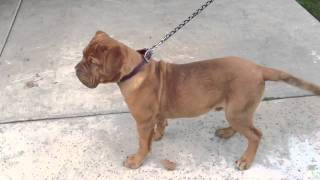 6 Month Old Dogue De Bordeaux