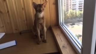 Абиссинский котенок 6 месяцев