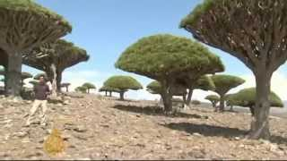 the dragon blood tree...one of most bizarre trees of the world..شجرة دم الاخوين
