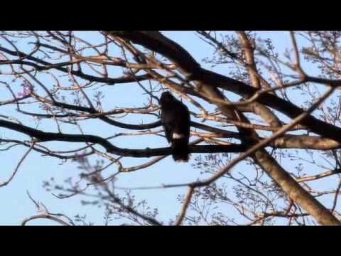 Pied Currawong call