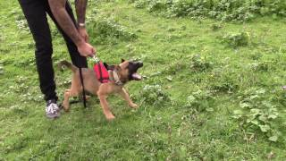 the most crazy 10 week old puppy Mali doing protection training HIGH DRIVE