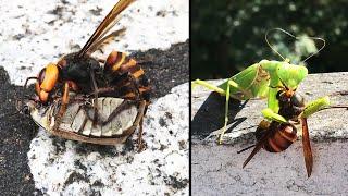 Ozzy Man Reviews: Murder Hornets