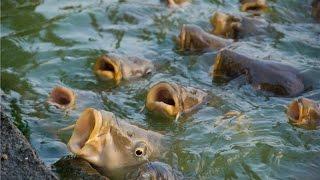 видео Рыба карп
