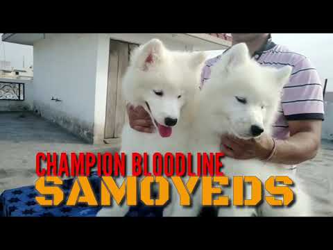 Champion Line Samoyed Puppies 5 months Old Show Winning Lines Full Vaccinated Puppies For sale India