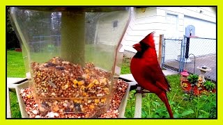 Bird Cam - Cardinal On Feeder