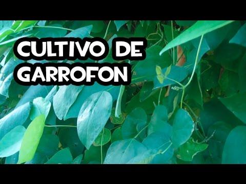 El Cultivo del Garrofon | Huerta Valenciana