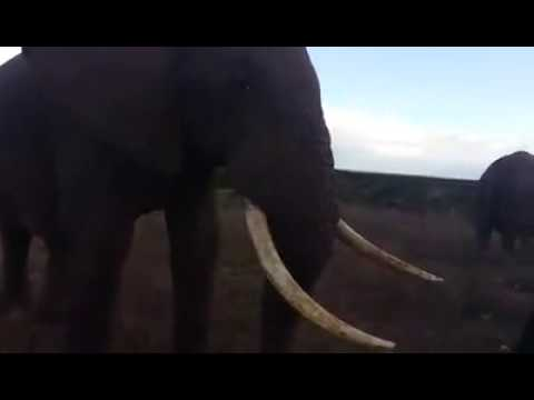 Elephant strolls right up to say hello !